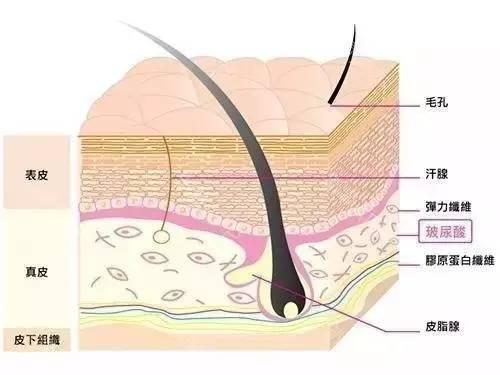 玻尿酸在皮肤中的结构图